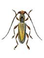 Imbrius lineatus.png