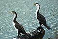 Immature and adult pied shags (Phalacrocorax varius).jpg