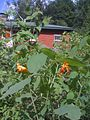 Impatiens capensis - orange jewelweed - touch-me-not (4870011077).jpg