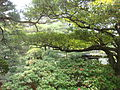 Imperial Palace in Kyoto - garden of emperor library - trees.JPG