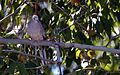Inca Dove - Flickr - GregTheBusker (1).jpg