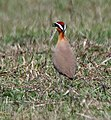 Indian Courser (Cursorius coromandelicus) at Bharatpur I IMG 5440.jpg