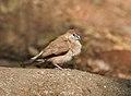 Indian Silverbill (Lonchura malabarica) at Sindhrot near Vadodara, Gujrat Pix 132.jpg