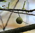Indian gooseberry (Phyllanthus emblica syn Emblica officinalis) fruit with young leaves & flower buds at Jayanti, Duars, West Bengal W Picture 045.jpg