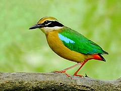 Indian pitta (Pitta brachyura) Photograph by Shantanu Kuveskar.jpg