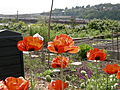 Interbay P-Patch poppies 01.jpg