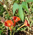 Ipomoea hederifolia (8719390710).jpg