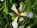 Iris fétide (Iris foetidissima) talus 01.jpg