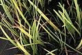 Iris laevigata Snowdrift 1zz.jpg