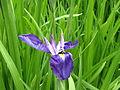 Iris mauve 22.JPG
