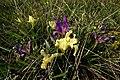 Iris pumila (5624954459).jpg