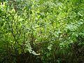 Isodon rugosus (7865076642).jpg