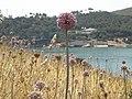 Isola della cipolla selvatica - panoramio (1).jpg