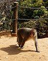 Iwatayama Monkey Park, Kyoto 3-25 (26216364670).jpg