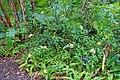 Ixora coccinea 'Yellow Ixora Maui' - McKee Botanical Garden - Vero Beach, Florida - DSC03128.jpg