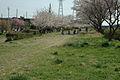 JP-12 Chiba Hanamigawa senbonzakura.jpg