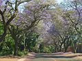 Jacaranda Time in Waterkloof.jpeg