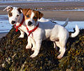 Jack Russell Puppies.jpg