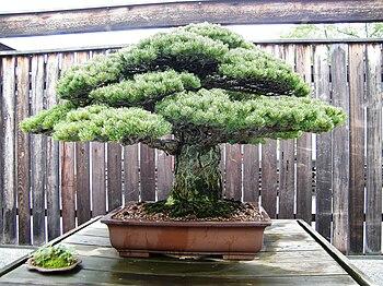 pin blanc du japon ayant survcu hiroshima