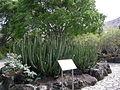 Jardín canario 32.JPG