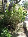 Jasminum sambac - Jardin d'Éden.JPG