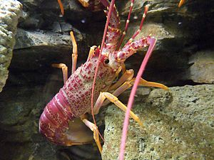 Henri Milne-Edwards - The southern rock lobster, Jasus edwardsii