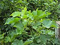Jatropha curcas - at Chooliyad 2014 (2).jpg