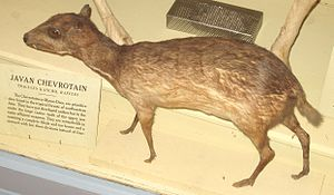 Chevrotain - Image: Javan Chevrotain (Harvard University)