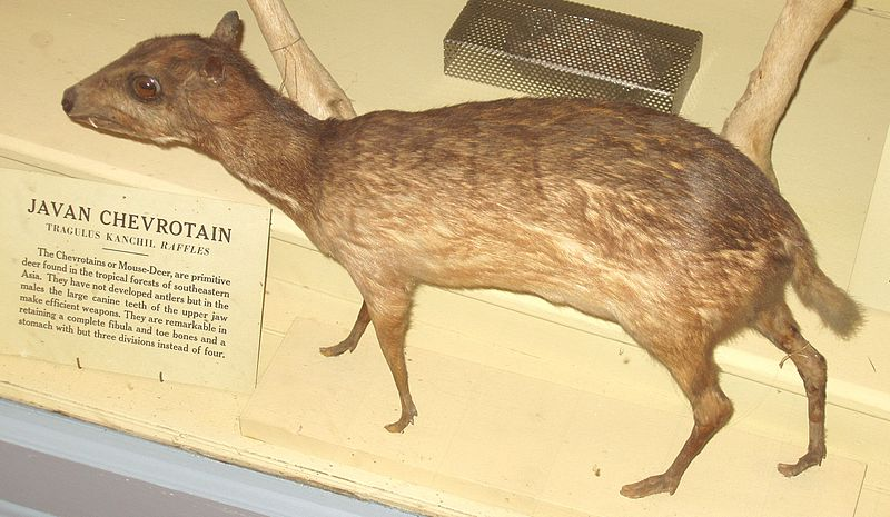 Payl:Javan Chevrotain (Harvard University).JPG