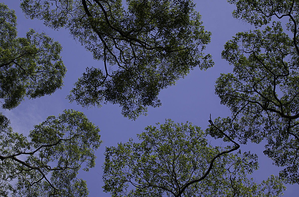 Canopy biology wikipedia for Canopy of trees