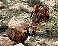 Jordanien-Berg Nebo-24-Esel-2010-gje.jpg