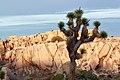Joshua tree (Yucca brevifolia) and boulders (14452499144).jpg