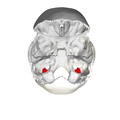 Jugular process of occipital bone06.png