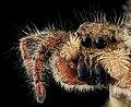 Jumping spider8, face, upper marlboro, md 2013-10-18-12.11.55 ZS PMax (10361344215).jpg