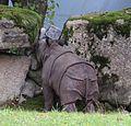 Junges Indisches Panzernashorn Puri Rhinoceros unicornis Tierpark Hellabrunn-5.jpg