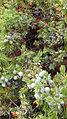 Juniperus communis subsp alpina Fountain Indian Reserve 12 BC.jpg
