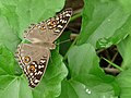 Junonia lemonias on Kadavoor.jpg