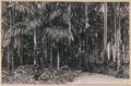 KITLV - 12670 - Palm Garden of the Government House in Paramaribo - circa 1899.tif