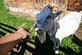 Karmienie zwierząt w parku etnograficznym.jpg