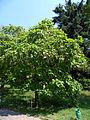 Karpaty Mukachivskyi Zakarpatska-botanical garden-Park sanatorium Carpathians-Catalpa.jpg