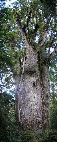 Kauri tree Agathis australis.