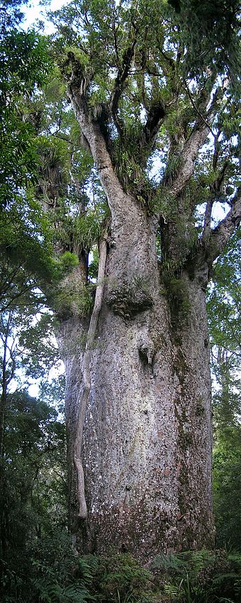The kauri of North Island were the largest trees in New Zealand, but were extensively logged and are much less common today. Kauri Te Matua Ngahere.jpg