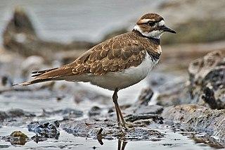 Killdeer A shorebird found in the Americas