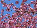 Kirschblüte 1615.jpg