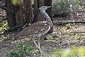 Kori Bustard - Koritrapp (Ardeotis kori) -2245 - Flickr - Ragnhild & Neil Crawford.jpg
