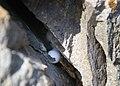 Kotschy's Gecko - Cyrtopodion Kotschyi - Nest.jpg
