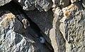 Kotschy's Gecko - Cyrtopodion Kotschyi - with Eggs.jpg