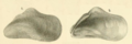 Krauss1848 pl2 fig4 Modiolus auriculatus.png
