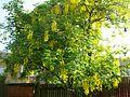 Laburnum × watereri Vossii (Golden rain) (3518869127).jpg