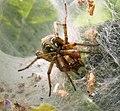 Labyrinth Spider. Agelena labyrinthica (39723295021).jpg